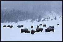 Herd of buffaloes during snow storm. Yellowstone National Park, Wyoming, USA.