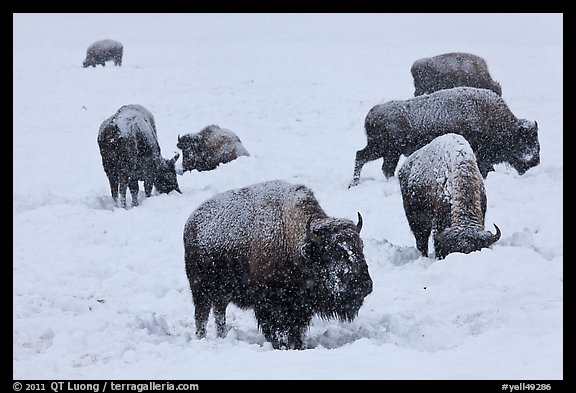 Bison feeding in snow-covered meadow. Yellowstone National Park (color)