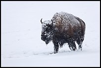 Snow-covered bison walking. Yellowstone National Park, Wyoming, USA. (color)