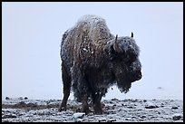 Snow-covered buffalo standing on warmer ground. Yellowstone National Park, Wyoming, USA. (color)