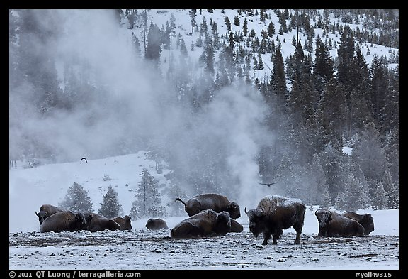 Bisons with thermal plume behind in winter. Yellowstone National Park (color)