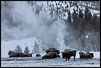 Bisons with thermal plume behind in winter. Yellowstone National Park, Wyoming, USA.