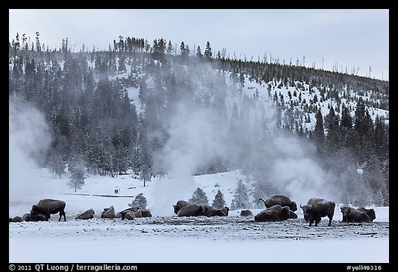 Buffalo herd and Geyser Hill in winter. Yellowstone National Park (color)