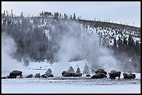 Buffalo herd and Geyser Hill in winter. Yellowstone National Park, Wyoming, USA.
