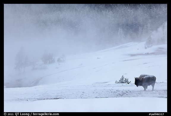 Lone bison and thermal steam. Yellowstone National Park (color)