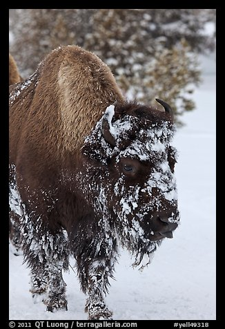 American bison with snow sticking on face. Yellowstone National Park (color)