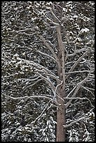 Close up of tree with snow. Yellowstone National Park, Wyoming, USA.