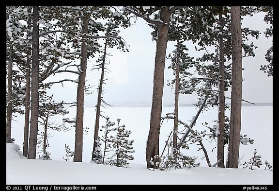 Trees on edge of Lewis Lake in winter. Yellowstone National Park (color)