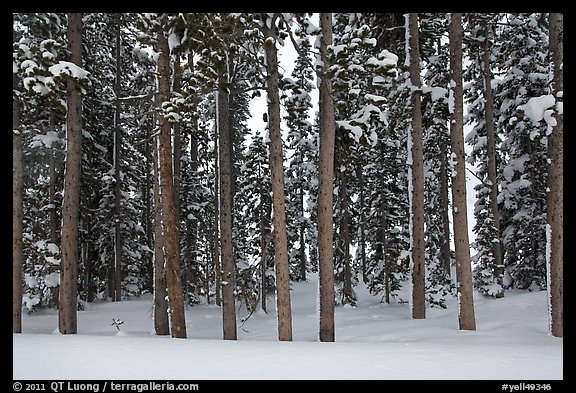 Pine forest in winter. Yellowstone National Park (color)
