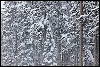 Forest with snow falling. Yellowstone National Park, Wyoming, USA.