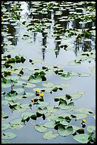 Water lillies, raindrops, and reflections, Isa Lake. Yellowstone National Park ( color)