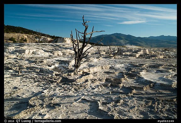 Dead trees and Main Terrace, Mammoth Hot Springs. Yellowstone National Park (color)