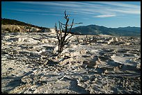 Dead trees and Main Terrace, Mammoth Hot Springs. Yellowstone National Park ( color)