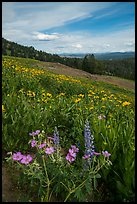 Wildflower meadow, Dunraven Pass. Yellowstone National Park ( color)