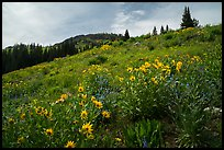 Summer wildflowers near Dunraven Pass. Yellowstone National Park ( color)