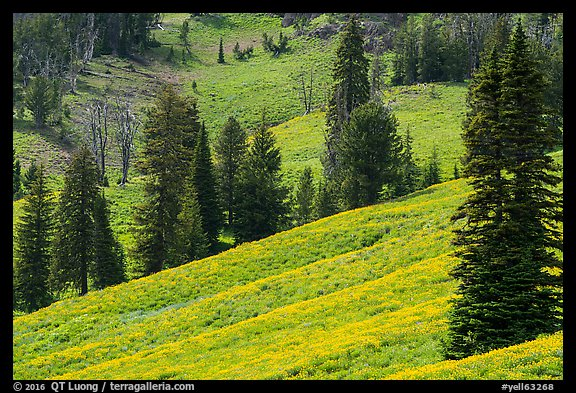 Slopes with wildflowers and conifers, Dunraven Pass. Yellowstone National Park (color)
