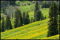 Slopes with wildflowers and conifers, Dunraven Pass. Yellowstone National Park ( color)