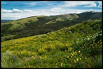 Carpets of wildflowers below Mount Washburn. Yellowstone National Park ( color)