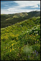 Summer wildflowers and Mount Washburn. Yellowstone National Park ( color)