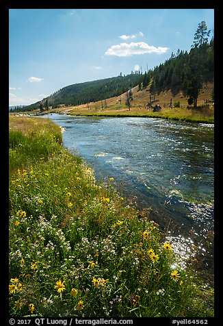 Wildflowers along Firehole River. Yellowstone National Park (color)