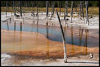 Dead trees, Black Sand Basin. Yellowstone National Park ( color)