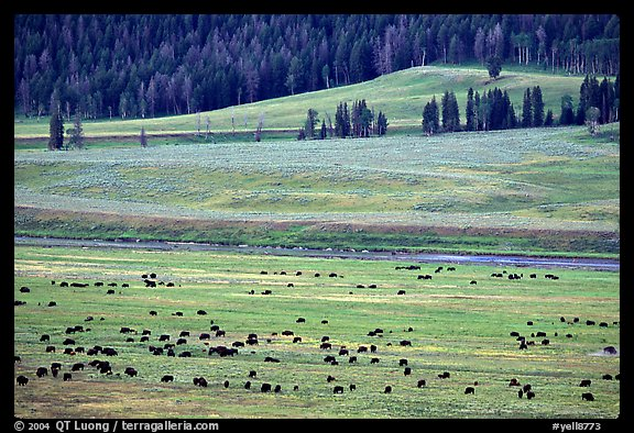 Buffalo herd in Lamar Valley, dawn. Yellowstone National Park (color)
