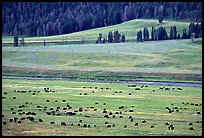 Buffalo herd in Lamar Valley, dawn. Yellowstone National Park, Wyoming, USA.