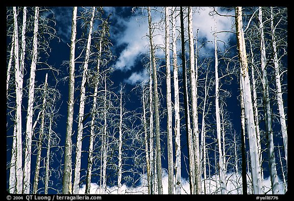 Bright trees in burned forest and clouds. Yellowstone National Park (color)