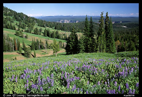Lupines at Dunraven Pass, Grand Canyon of the Yellowstone in the background. Yellowstone National Park (color)