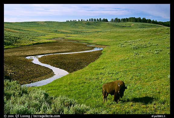 Bison and creek, Hayden Valley. Yellowstone National Park (color)