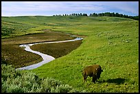 Bison and creek, Hayden Valley. Yellowstone National Park, Wyoming, USA. (color)