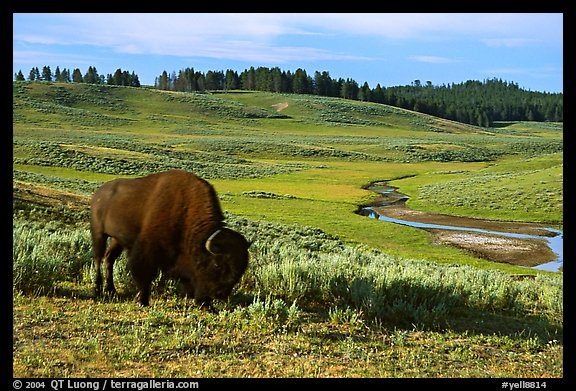 Buffalo, Hayden Valley. Yellowstone National Park (color)