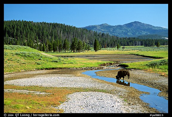 Buffalo in creek, Hayden Valley. Yellowstone National Park (color)