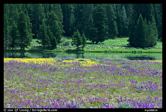 Purple flowers and pine trees. Yellowstone National Park (color)