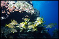 Yellow snappers under an overhang. Biscayne National Park ( color)