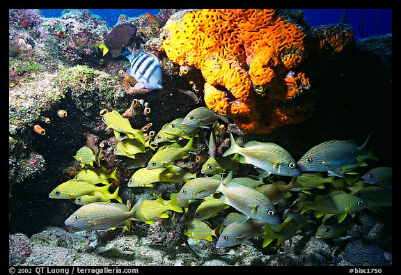 Yellow snappers and orange coral. Biscayne National Park (color)