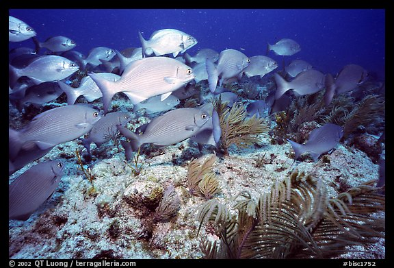 School of snapper fish. Biscayne National Park (color)