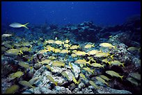 School of yellow snappers. Biscayne National Park, Florida, USA. (color)