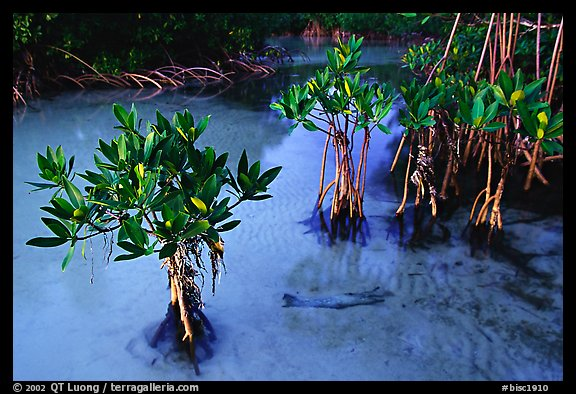 Small mangrove shrubs, Elliott Key. Biscayne National Park (color)