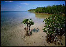 Depositional coastal environment with mangrove on Elliott Key, afternoon. Biscayne National Park ( color)