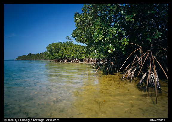 Mangrove trees in shallow water, Elliott Key, afternoon. Biscayne National Park, Florida, USA.