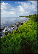 Saltwarts plants on outer coast, morning, Elliott Key. Biscayne National Park ( color)