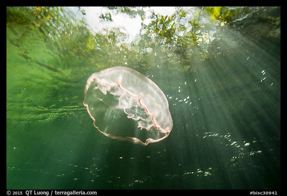 Jellyfish and sunrays below mangroves. Biscayne National Park (color)