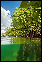 Over and underwater view of mangroves. Biscayne National Park ( color)