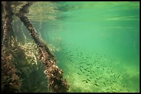 Mangrove roots and juvenile fish. Biscayne National Park ( color)