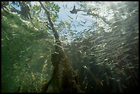 Looking up juvenile fish and mangrove from under water. Biscayne National Park ( color)