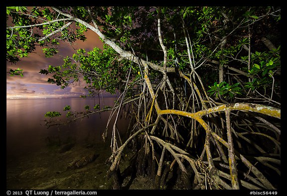 Mangrove tree branches at night, Convoy Point. Biscayne National Park (color)