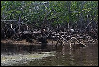 Bird amongst mangroves. Biscayne National Park, Florida, USA. (color)