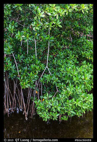 Mangrove roots and leaves. Biscayne National Park (color)