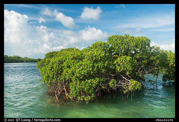 Mangrove and clear water, Swan Key. Biscayne National Park (color)